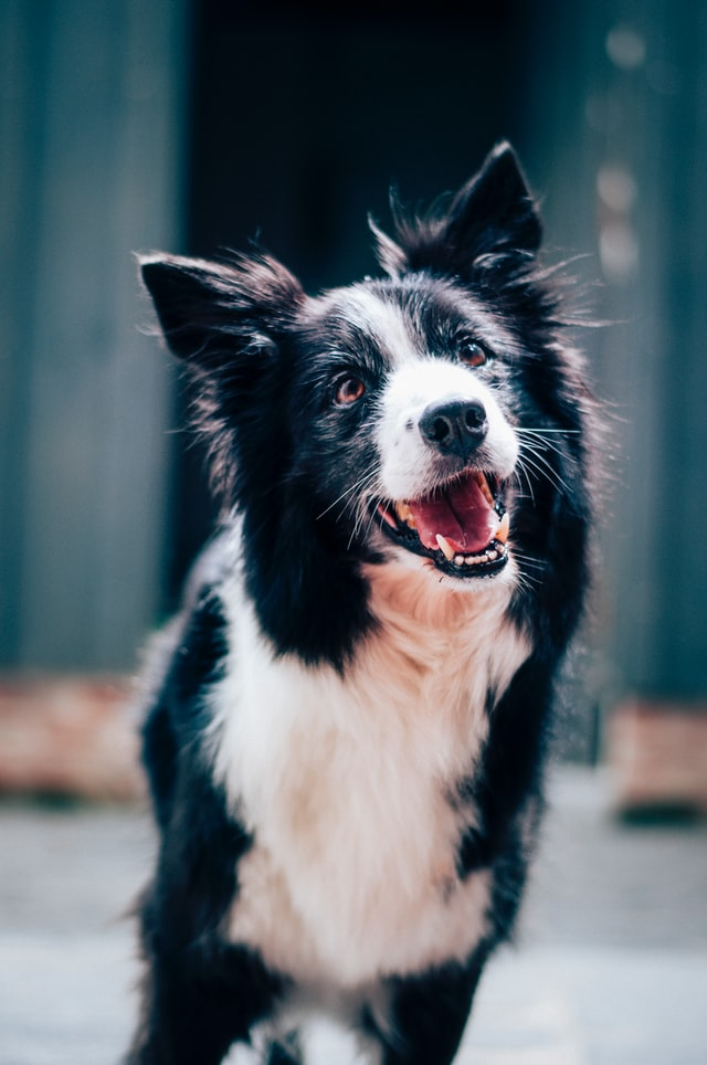 Border Collie black & white dog standing