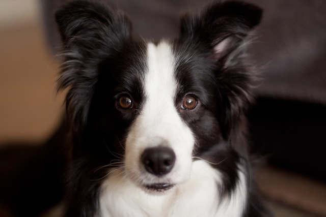 Border Collie black & white dog's head