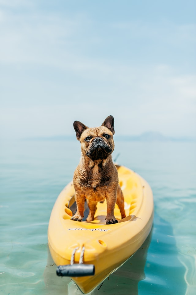 Brown French bulldog sitting in a canoe