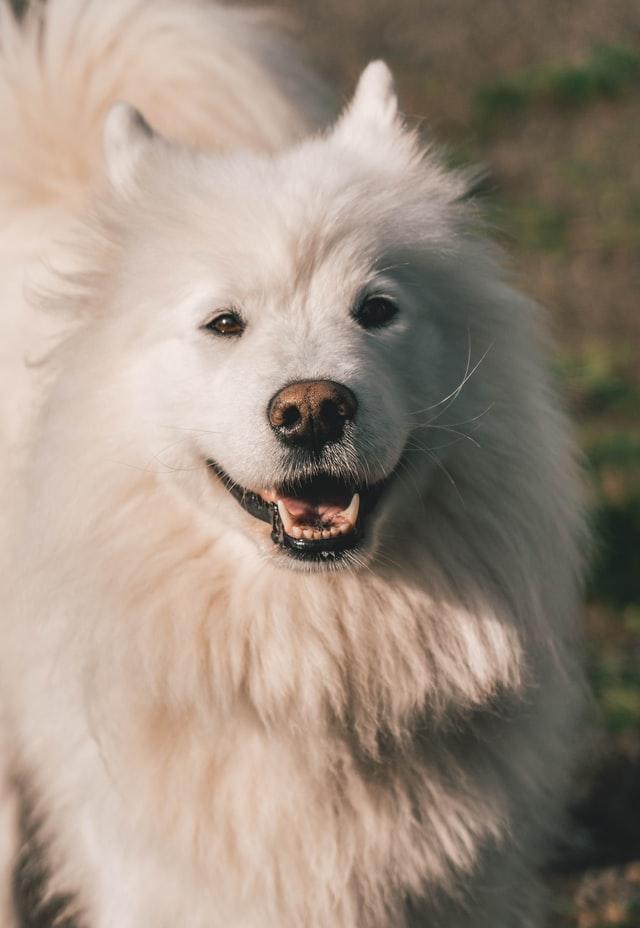 Grown dog Samoyed standing