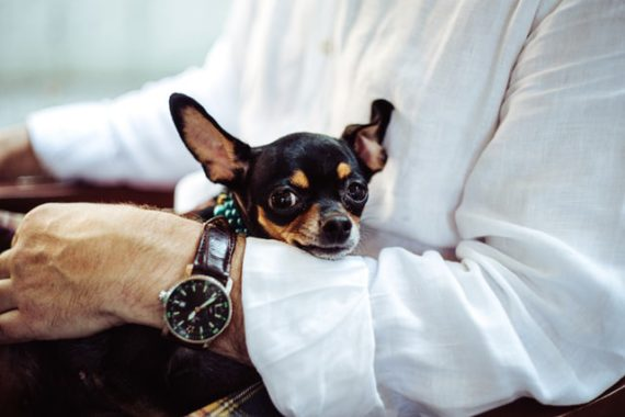 black chihuahua hold by a man's arm with a watch