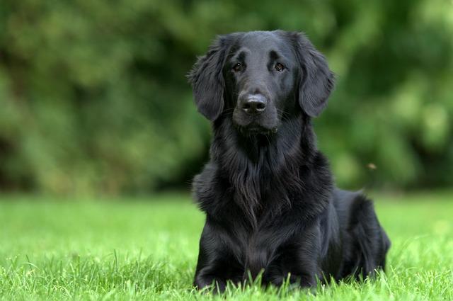 black retriever dog sitting on the grass