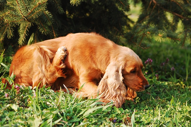 brown dog sitting and scratching spaniel