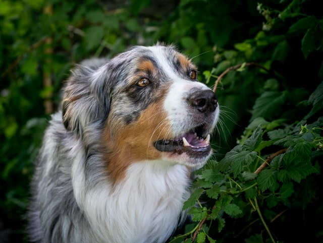brown gray and white big dog barking