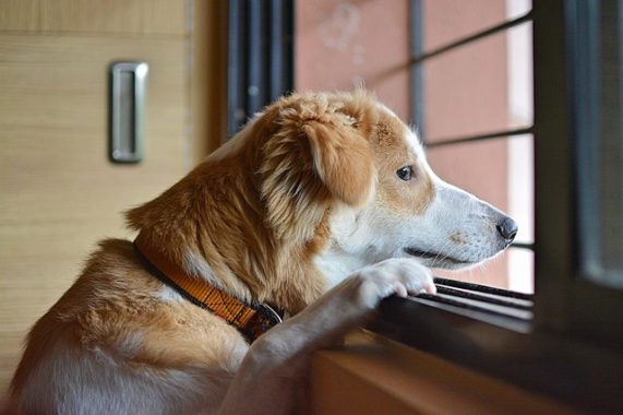 brown white dog standing up and looking through a window