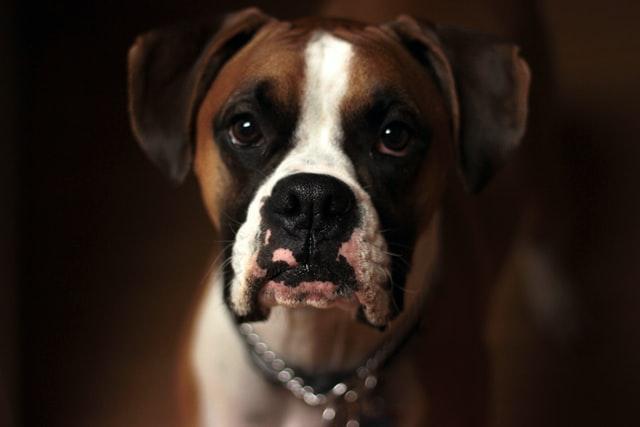 brown white grown boxer dog head