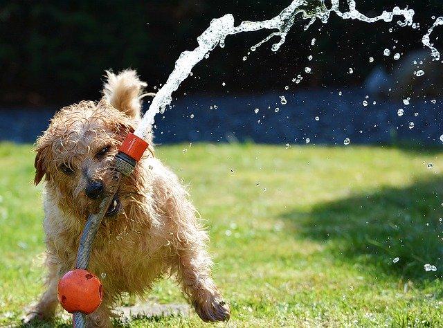 dog biting a sprinkler in the backyard