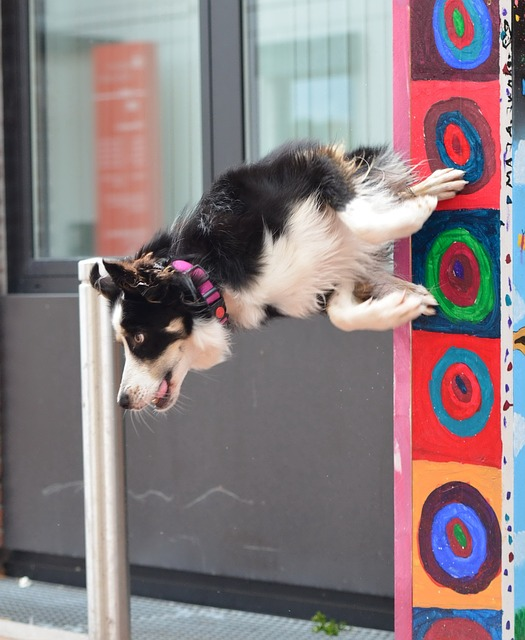 dog border collie doing a trick