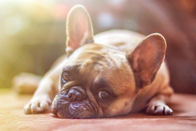 dog brown French bulldog lying on the floor