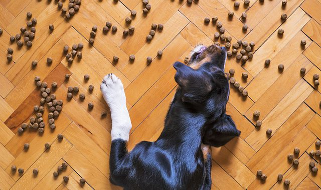 dog eating food from the floor