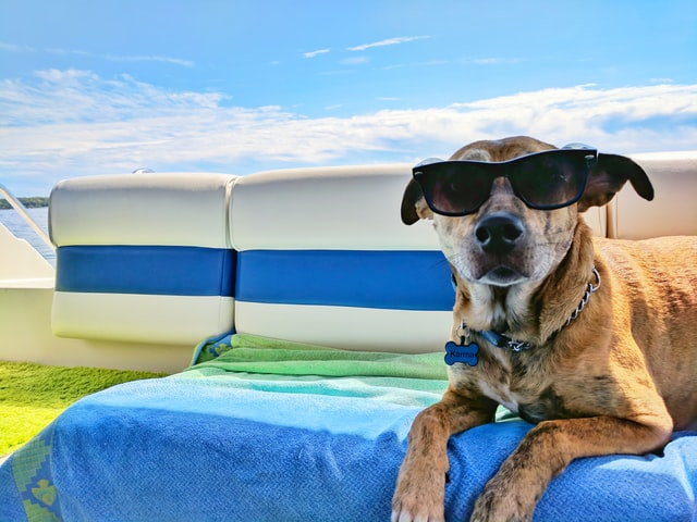 dog lounging on a sunbed with sunglasses