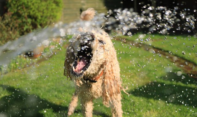 dog playing with a water hose in a backyard