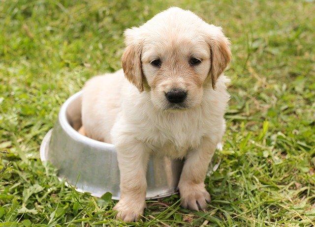golden retriever puppy sitting in the bowl