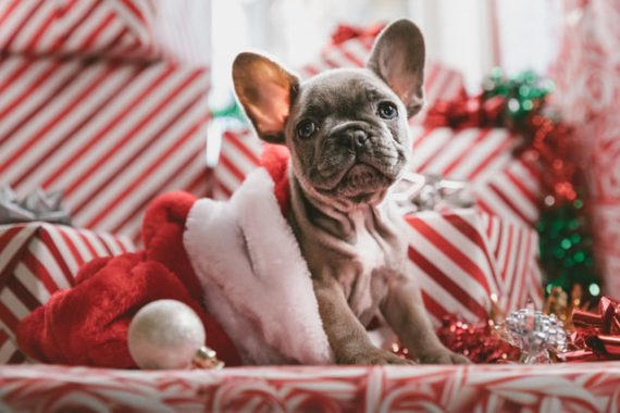 gray French bulldog puppy sitting in a Christmas bag