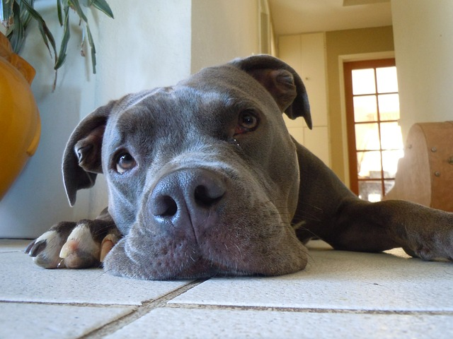 gray pitbull dog lying on the floor