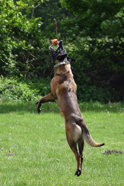 malinois dog jumping to catch a ball