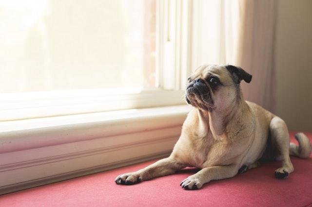pug dog lying next to a window