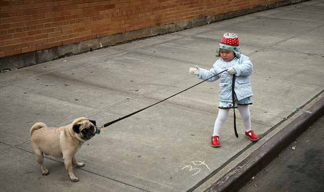 pug dog pulling a leash held by a small girl