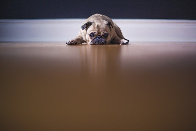 pug puppy lying on the floor