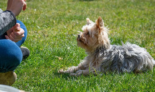 small brown-gray dog lying on the grass and listening to its trainer