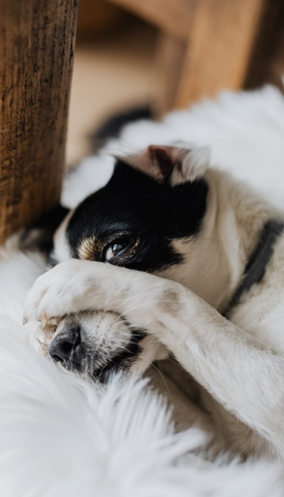 white and black dog lying and hiding its face with its paw